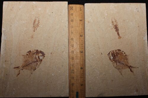 Eryma cretacea - Lobster + Fish - Cretaceous Fossils directly from Lebanon