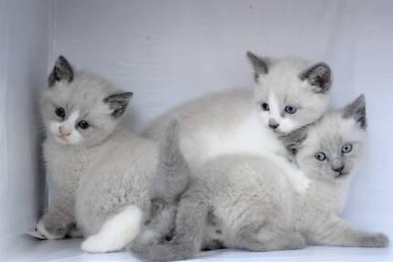 Beautiful SEAL POINT RAGDOLL Kittens
