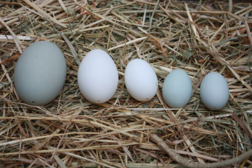 Eggs, 5 Piece Collection of Real, Empty Waterfowl Eggs, Pysanky, School, Etc.