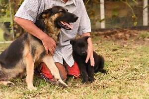 Purebred German Shepherd Dogs, Ultimate Family Protectors!