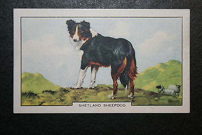 Shetland Sheepdog    1930's Original  Vintage Coloured Card  VGC