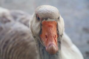 Breeding pair - Toulouse Geese Sutton Gungahlin Area Preview