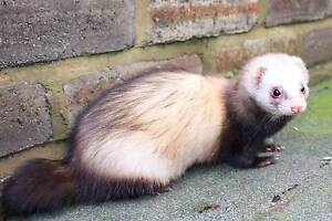 3 ferrets for sale Sydney City Inner Sydney Preview