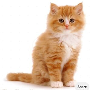 Wanted: Wanted to buy kitten