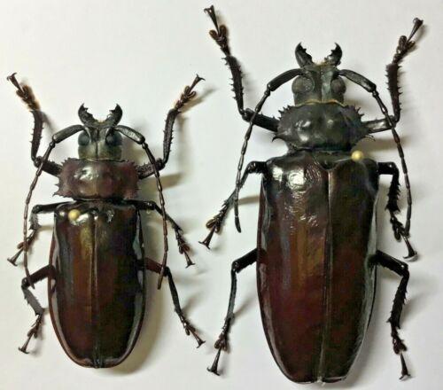 Prioninae: Rhaphipodus celebensis (Female)  - Indonesia, C.Sulawesi