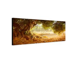 120x40cm Wandbild Panorama alt Oliven Baum Mediterran Feld Sinus Art Keilrahmen