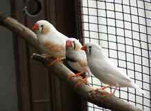 WANTED. White zebra finches Burra Queanbeyan Area Preview