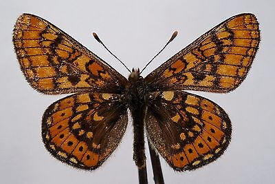 Butterfly Nymphalidae Euphydryas Aurinia Male A
