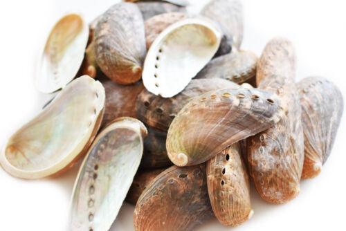 50 Green Abalone Shells (Donkey