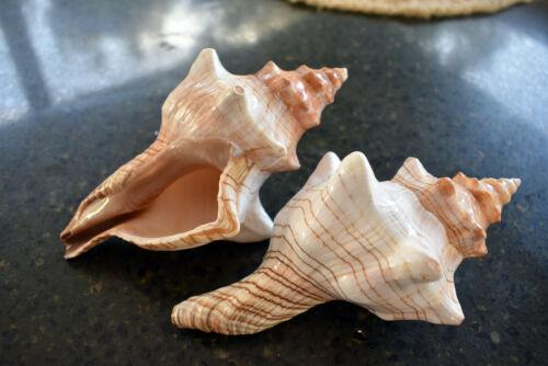 "2 Striped Fox Conch Shells Seashell (Trapezium Horse Conch) 5-6"" Beach Wedding"