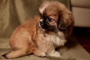 Purebred tiny Pekingese  pups: Tricolor and white!