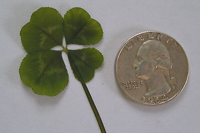 Real Four Leaf Clover - 4 Leaf Clover - Larger than Quarter - Good Luck Item - Good Luck Items
