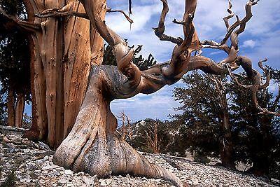 Bristlecone Pine, Pinus aristata, Tree Seeds (Hardy, ...