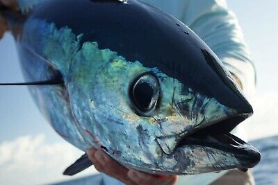"MAHI KING FISH YELLOWTAIL NEW 6 1//2/""  GlowTUNA POPPER FISHING TACKlE  LURES GT"