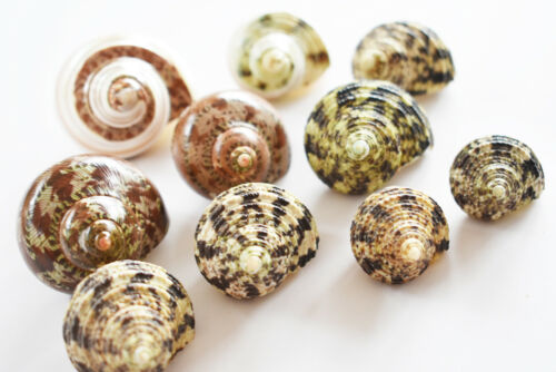 """10 Hermit Crab Changing Shell Deluxe Set Medium Size Select Turbo Shells 1"""" open"""