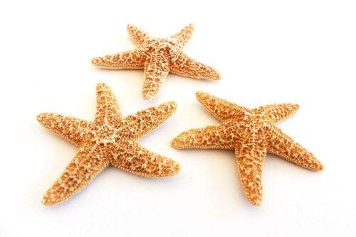 "Set of 3 Small Sugar Starfish 2-3"" Beach Wedding Decor Nautical Crafts Coastal"