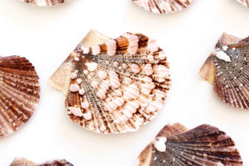 "1 Lb  Baby Flat Scallops 1-1.5"" Beach Crafts Nautical Decor Coastal Hundreds"