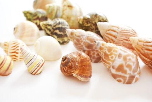 15 Hermit Crab Shells Assorted Natural Seashells SMALL to Medium Beautiful Set