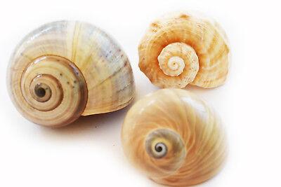 Hermit Crab Shells Shell - (3) Large Hermit Crab Shells Assorted Natural Seashells 2-3