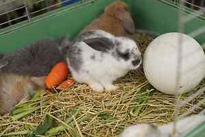 Bunnies for sale at strathfield Strathfield South Strathfield Area Preview