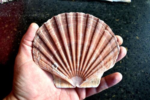 """2 Large Irish Flat Scallop Shells Seashell 4""""+ Crafts Beach Cottage Nautical Art"""