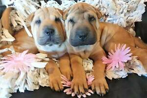 Chinese Shar Pei Fawn Puppies (Purebred)