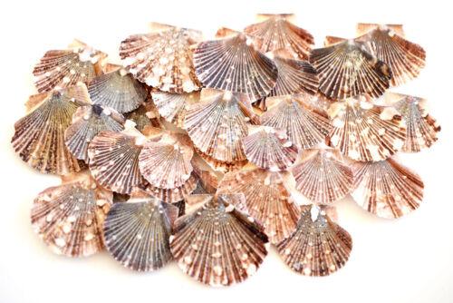 "50 Baby Flat Scallops 1-1 1/2"" Beach Wedding & Crafts Nautical Decor Coastal"