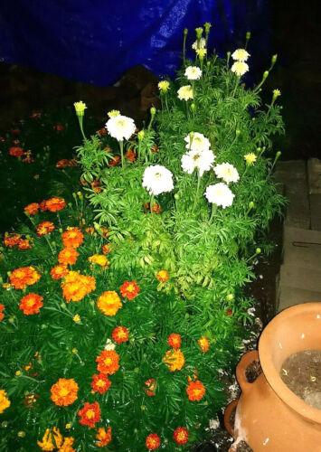 FRENCH VANILLA Marigold Seeds - Flower Garden - Companion Planting
