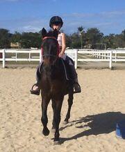 Beautiful Beginners Stock Horse Bald Hills Brisbane North East Preview