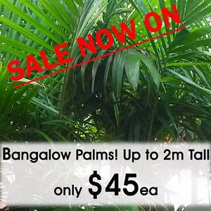 Bangalow Palms 30cm Pots ON SALE NOW! Greenvale Hume Area Preview