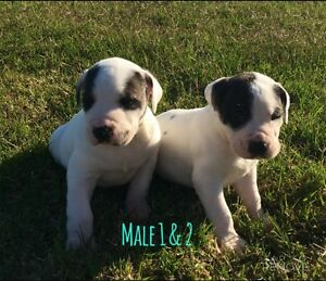 Bullarab pups Clermont Isaac Area Preview
