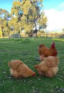 Buff Orpington and Blue/Splash Australorp Fertile Eggs McLaren Flat Morphett Vale Area Preview