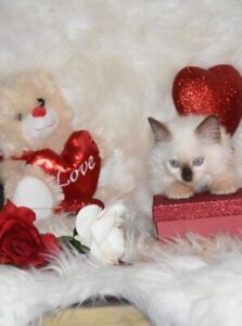 Purebred Ragdoll kittens ready to go to new forever homes now!