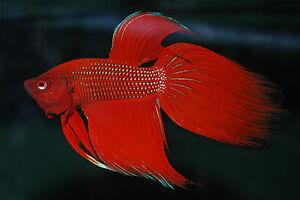 Male-Red-Fighting-Fish-Betta-splendens-Live-Aquarium-Fish