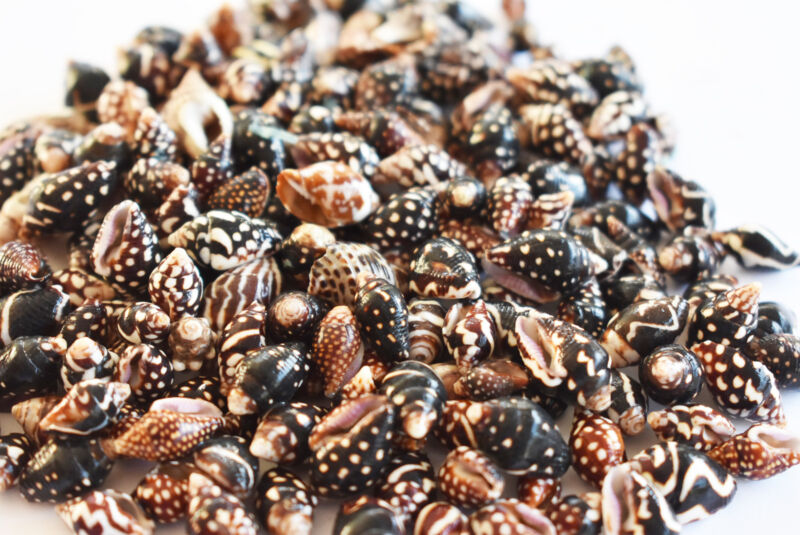 "8 oz (500) Tiny Nassa Columbella Mini Shells (1/4-5/8"") Beach Arts Crafts Hobby"