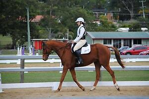 Horse for Sale Maudsland Gold Coast West Preview