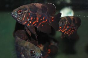 Red Tiger Oscar (Astronotus ocellatus). Live Tropical Aquarium Fish