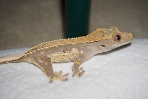 High End Crested Gecko - Lots of Potential