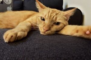 Desexed 2yr old ginger male cat free to good home Mount Hutton Lake Macquarie Area Preview