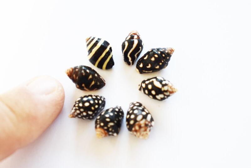"2 oz (130) Tiny Nassa Columbella Mini Shells (1/4-5/8"") Beach Arts Crafts Hobby."