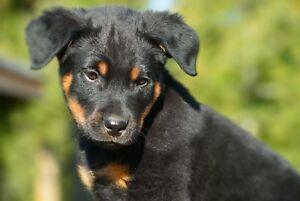 Rottweiler Cross Puppy