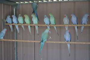 Mutation Indian Ringnecks Langwarrin South Frankston Area Preview