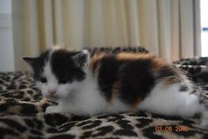 kittens for sale Nerang Gold Coast West Preview