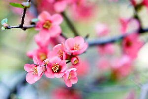 Chaenomeles × superba 'Pink Lady' / Japanese Quince, 20-30cm Tall In 2L Pot