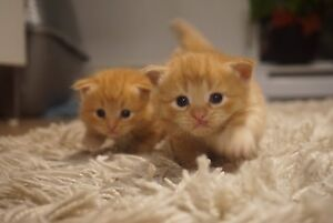 Lovely Scottish Kittens <3 Last Kitten