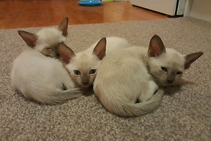 Purebred Tonkinese kittens Rutherford Maitland Area Preview