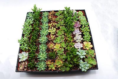 24 Succulent assorted in  2