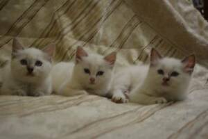 Adorable, Social, balls of Fur. 3 Rag doll kittens Kempsey Area Preview