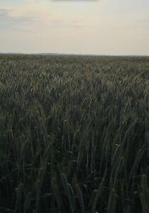 Spring Triticale ! For sale