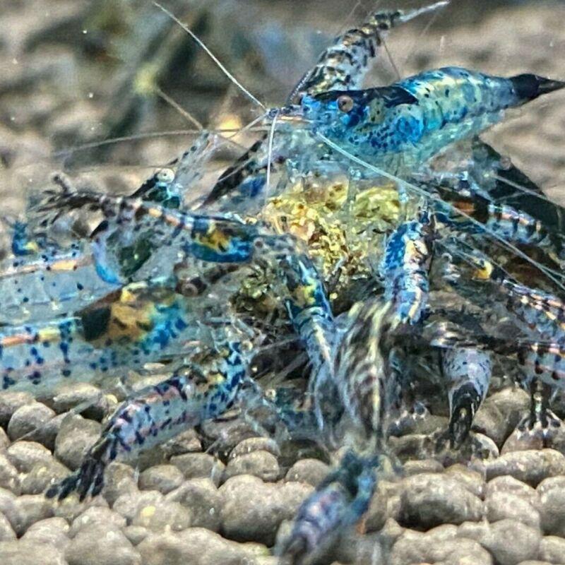 Neocaridina Dwarf Shrimp Blue Rili and Carbon Rili 10+1 Juvenile & Adults Mixed